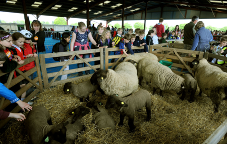 Sheep at the School Farm and Country Fair 2014